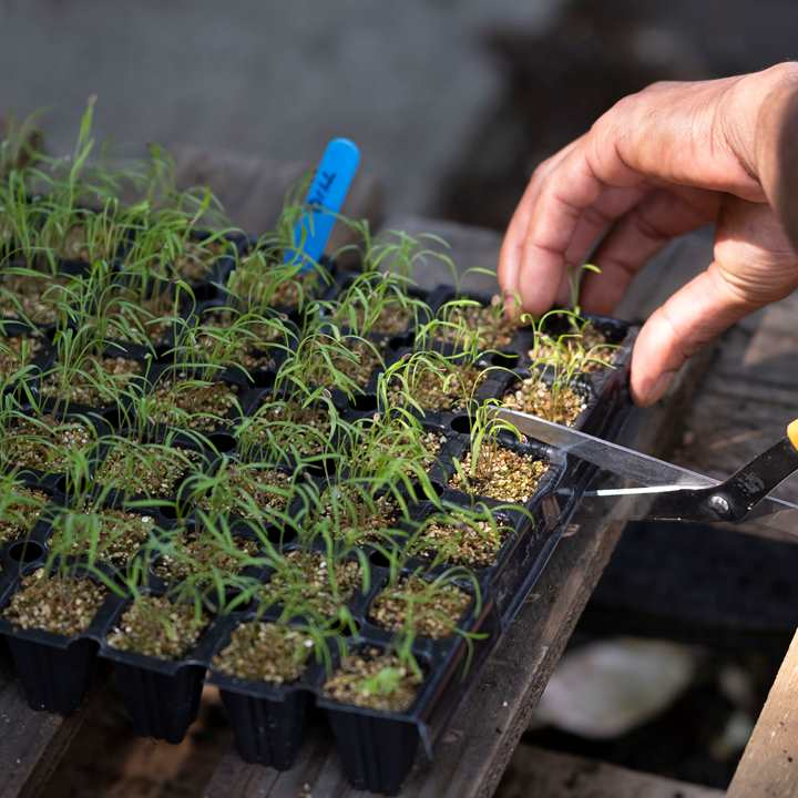 Hands tending to seedlings